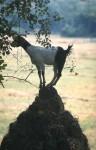 A goat in Goa